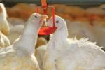 white-broilers-drinking-closeup.jpg
