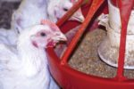 white-chickens-eating-automatic-feeder-1