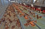 CPF-cage-free-hens