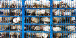 chickens in crates closeup