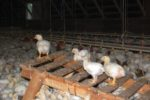 Broilers-on-a-ramp