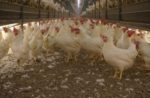 cage-free-hens-organic