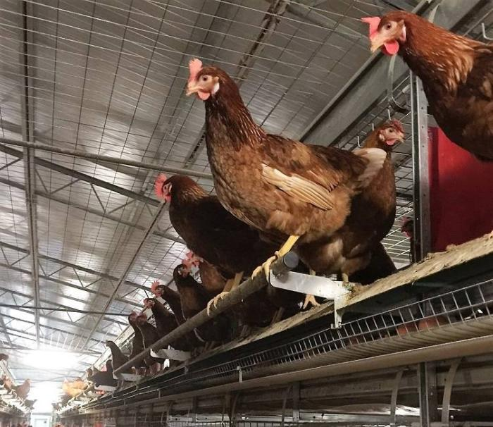 Cage-free laying systems, like this Tecno Poultry Equipment aviary, include perches so hens can exhibit natural perching behaviors and avoid aggressors when necessary. Photo courtesy of Potter's Poultry.