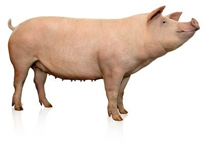 pig production nutrition info analysis wattagnet