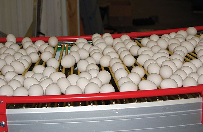 Egg on conveyor