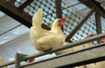 cage-free-white-hen