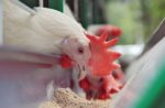 chicken eating feed from feeder
