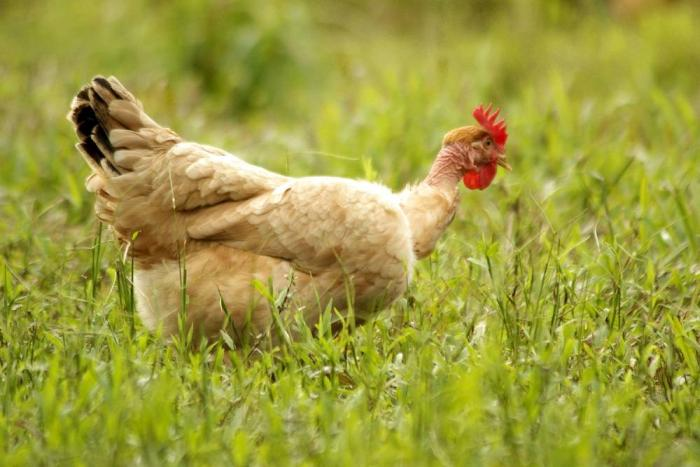 Chicken-free-ranging