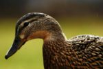 close up female duck