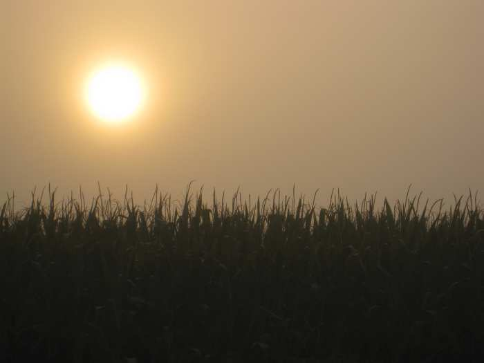 corn under hot summer sun