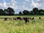 cows foraging in summer pasture