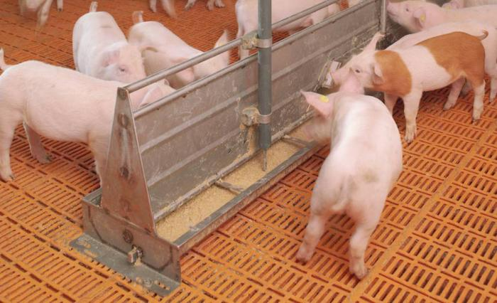 Liquid-feeding-piglets