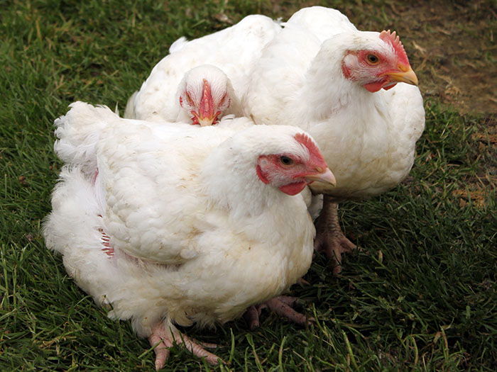 pasture raised broilers