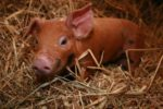piglet laying down in straw