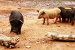 pigs in open area