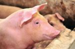 solutions to keep pigs healthy
