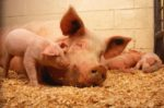 sow and piglets in pen