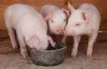 three piglets eating