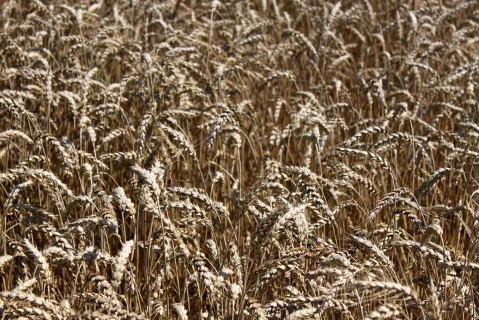 Wheat-ready-to-harvest
