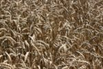 wheat ready to harvest
