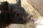 young pig drinking