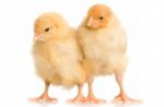 chicks1607PIantibioticfreepoultry1.jpg