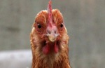 Avian flu global