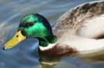 Avian flu duck