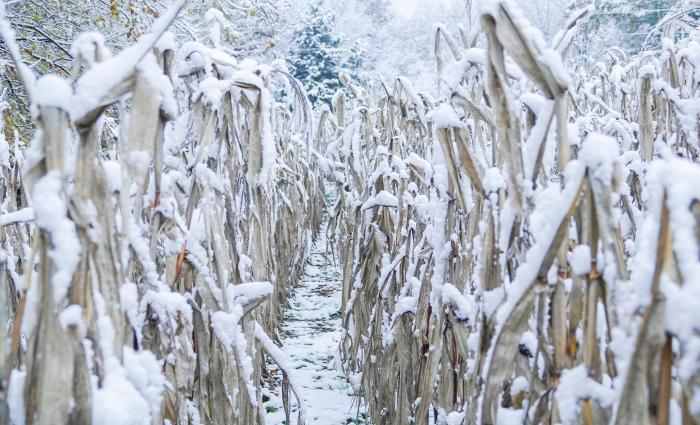 snow-covered-corn
