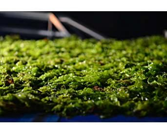 algae-harvesting-for-feed-1311FIAlgae.jpg