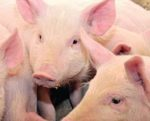 pedv-piglet-deaths-1501FMBiosecurity1.jpg