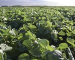 Argentine-soybean-crop-1410FIIngredients1.jpg