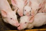 Pigs-nutritional-research-1305FIglobalpigfeed3.jpg
