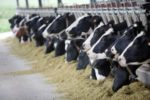 cattle-eating-1207FMmycotoxinsdairyfeed1
