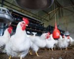 Micronutrients-poultry-feed-1507FMBacktoBasics.jpg