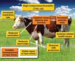 Effects-of-heat-stress-dairy-cows-1406FIRuminants.jpg