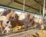 Organic-dairy-cows-1407FMResearch