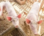 Piglets-trace-minerals-1501FMAdditives.jpg