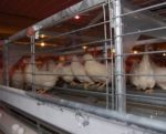 enriched-colony-hens-feeding1410EIenrichfeed.jpg