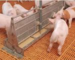 liquid-feeding-1411PIGfeeding.jpg