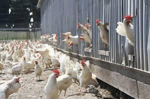 hens-outdoors-1210EIcagefree2