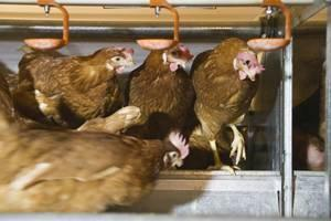 cage-free-hens-1210EIcagefree3