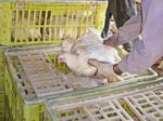 Catching-birds-1301PIpoultryprocessing1.jpg