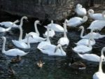 Flock of mute swans