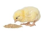 chick-eating-1311PIsustainablepoultry1.jpg