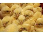 early-gut-development-1309PIpoultryguthealth1.jpg