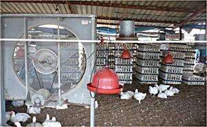 Stacks-cages-chicken-1304PIpoultryprocessing1.jpg