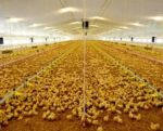 chicken-house-1402PIukpoultry1.jpg
