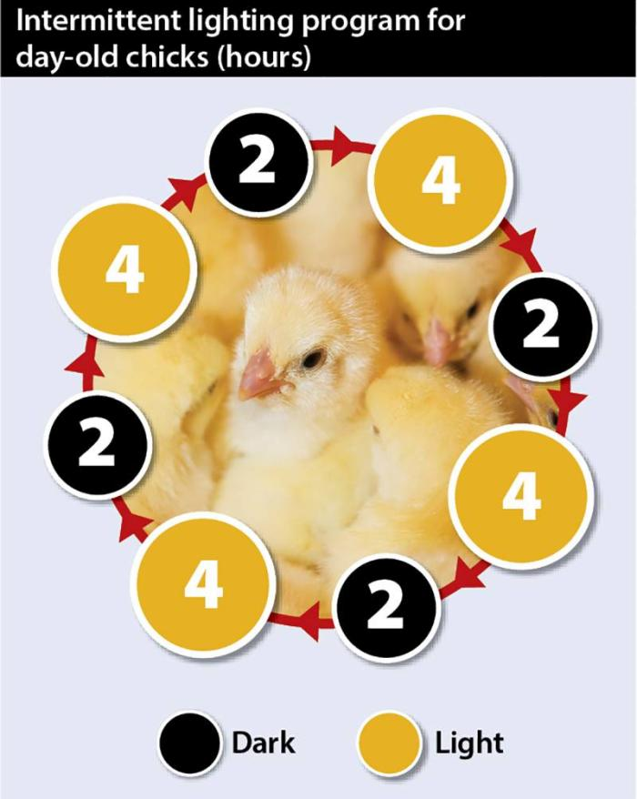 How To Ensure Successful Early Stage Layer Pullet Rearing