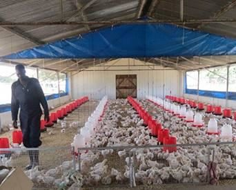 Irvine's Zimbabwe: Inclusivity key in African poultry sector